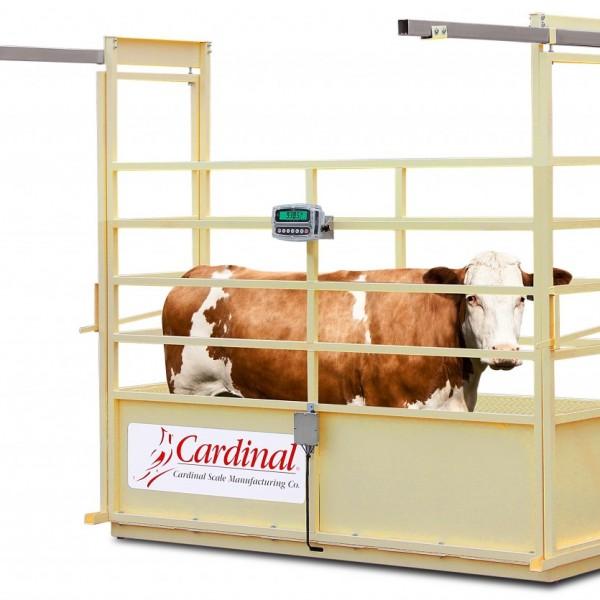 72 Livestock cattle